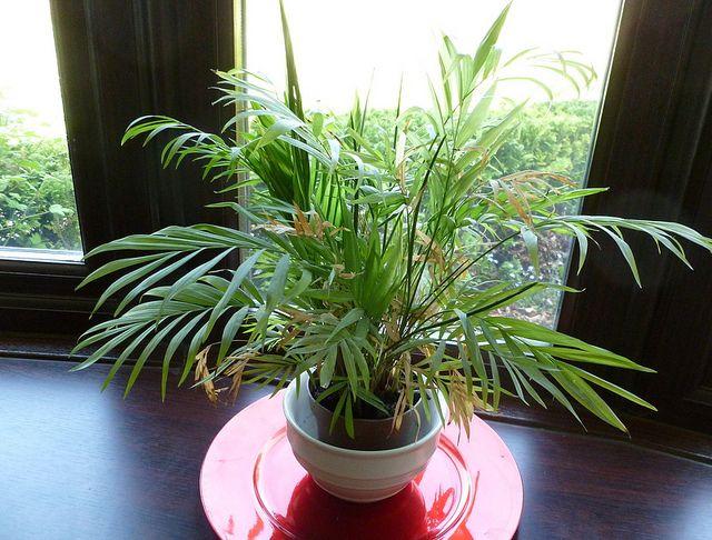 Palmeira de Salão em sala interna