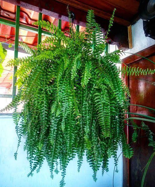 Plantas que precisam de pouca luz: Samambaia