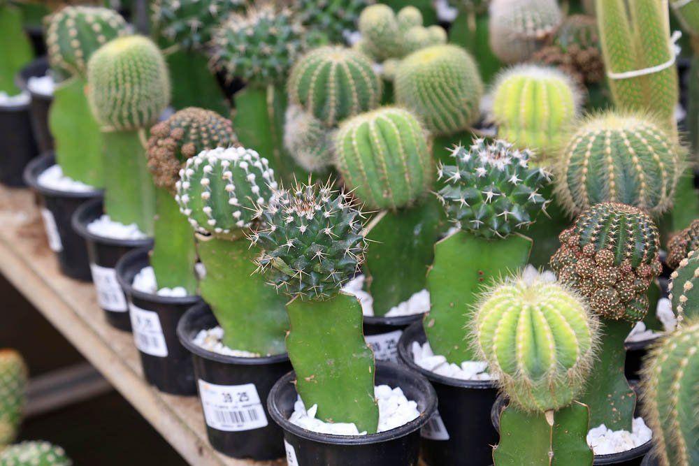 Como plantar cactos: saiba como plantar e cuidar dessa planta