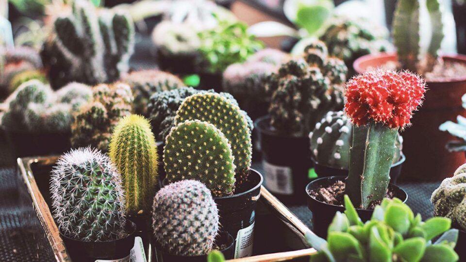 Como plantar cactos – Plantio, cuidados e como cultivá-los em casa