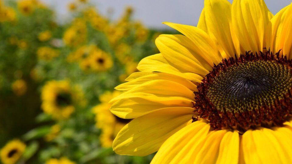 Como plantar girassol – Cuidados e maneiras de cultivar no jardim