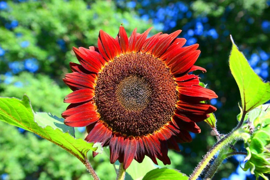 Como plantar girassol: aprenda os passos para ter essa flor no jardim