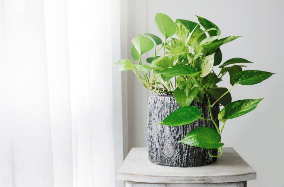 Como plantar jiboias? Cuidados, plantio e como usá-la na decoração