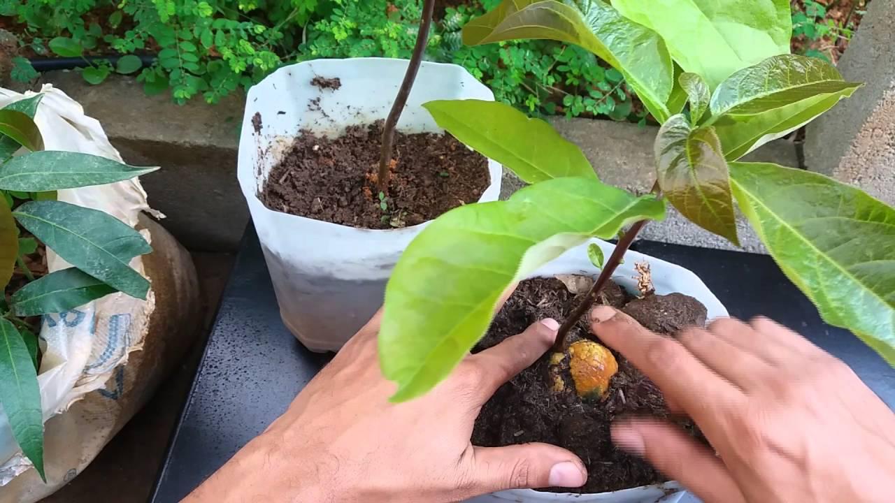 Como plantar abacate: siga o passo a passo para ter essa fruta no quintal