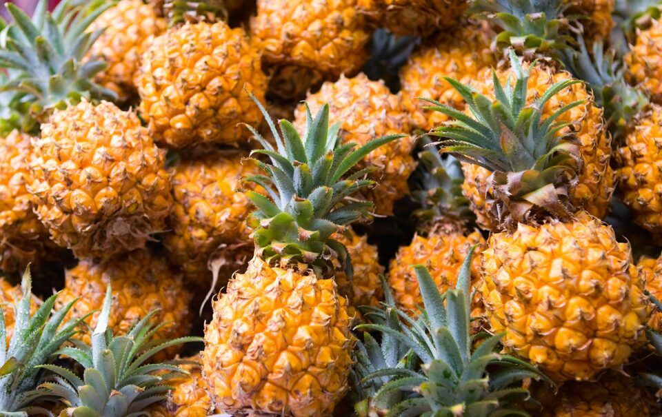 Como plantar abacaxi – Formas de plantar e cultivar o fruto em casa