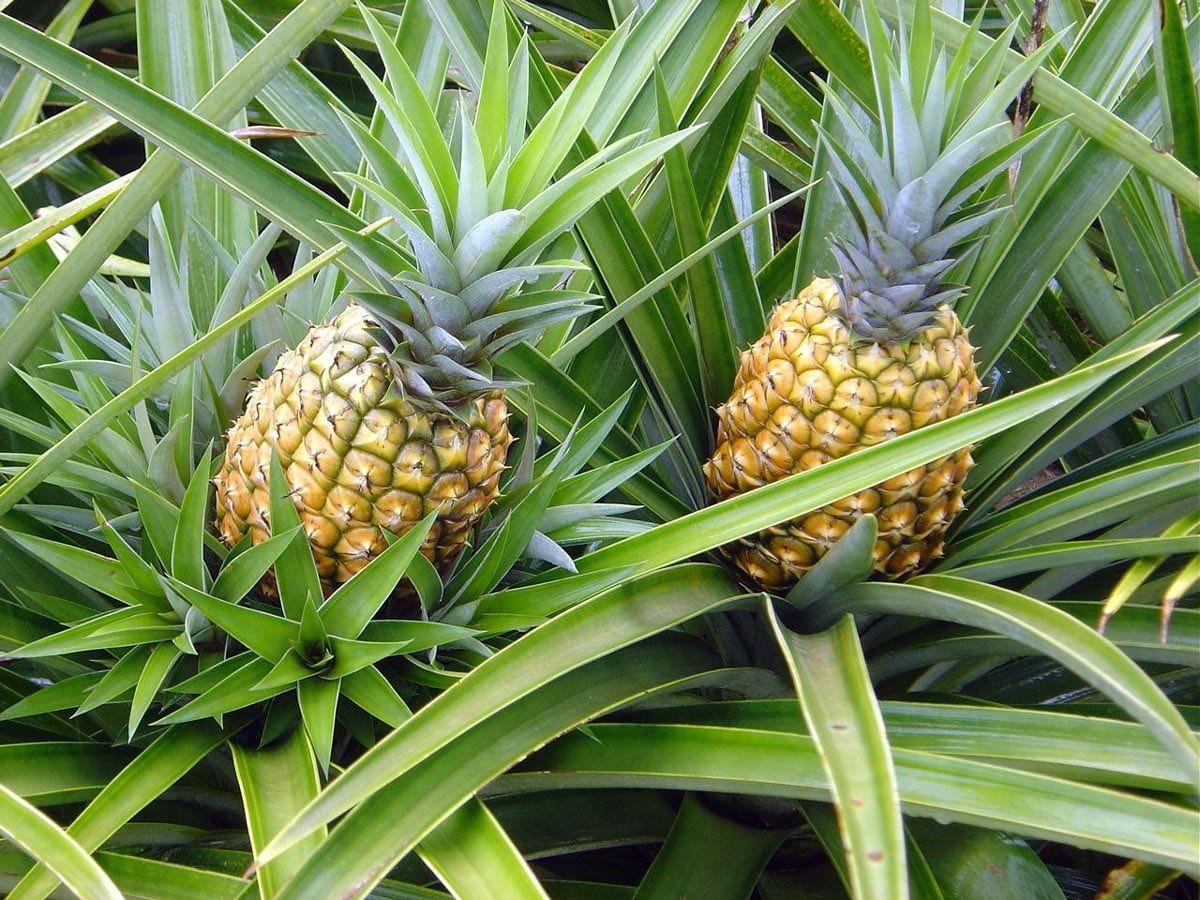 Como plantar abacaxi: aprenda como plantar a fruta em casa