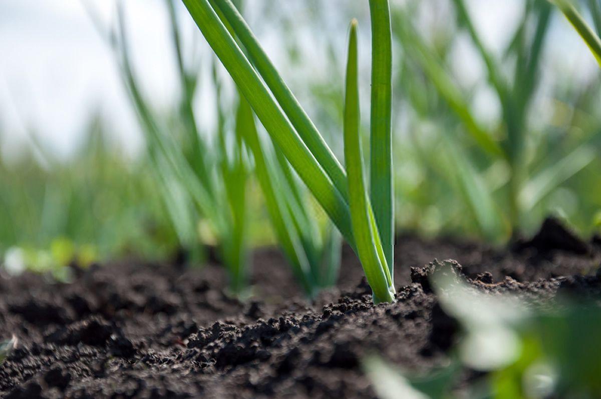 Como plantar cebolinha: benefícios, cuidados e formas de fazer o plantio