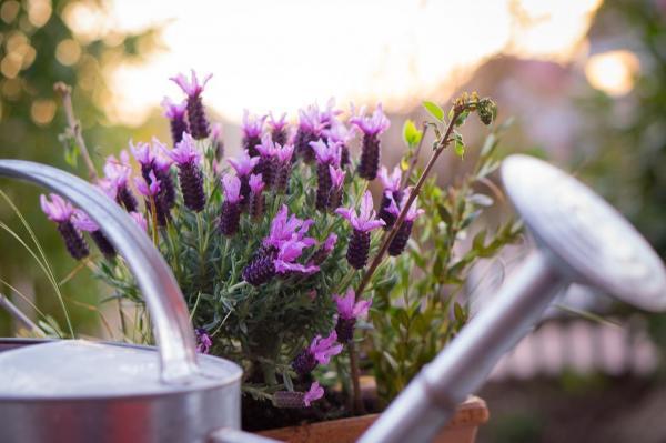 Como plantar lavanda: aprenda a fazer o plantio e os seus cuidados