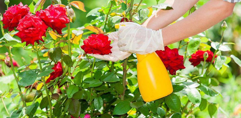 Como plantar rosas: algumas técnicas para cultivar roseiras no jardim