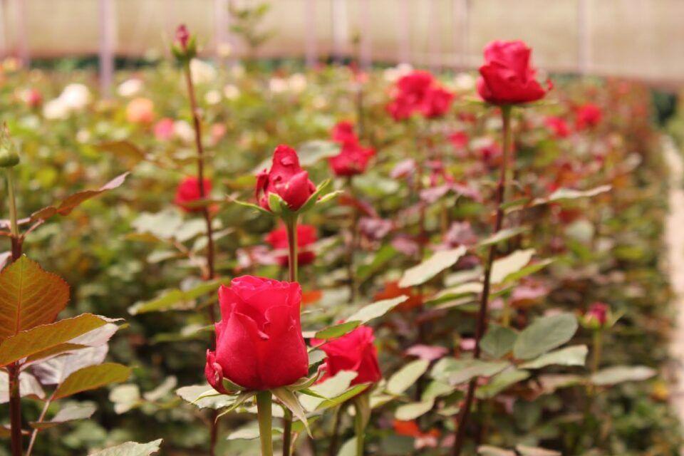 Como plantar rosas – Técnicas para cultivar roseiras no jardim