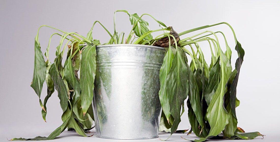 Rega de emergência: recuperando as plantas que estão murchas