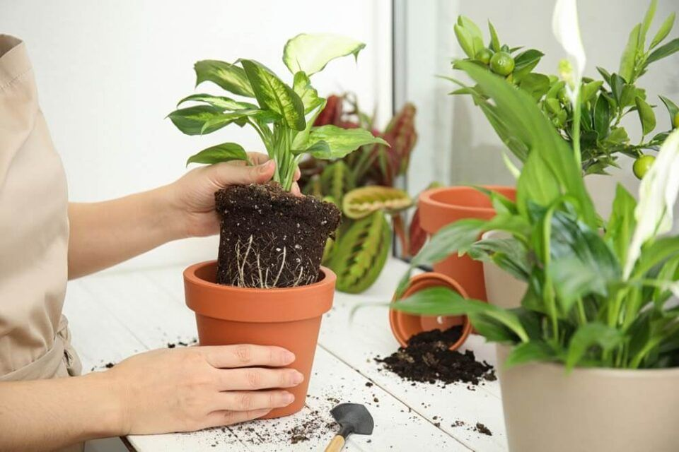Como mudar planta de vaso – Formas de replantar e manter o cultivo