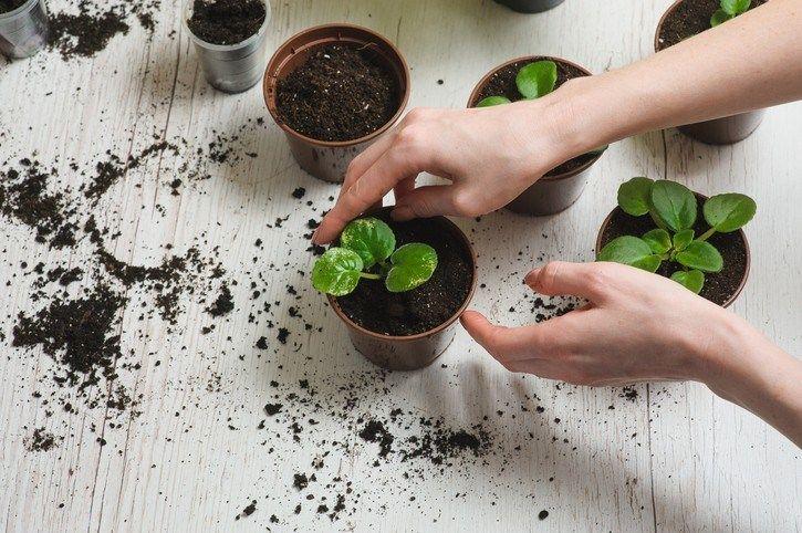 Como mudar planta de vaso corretamente e sem prejudicá-la