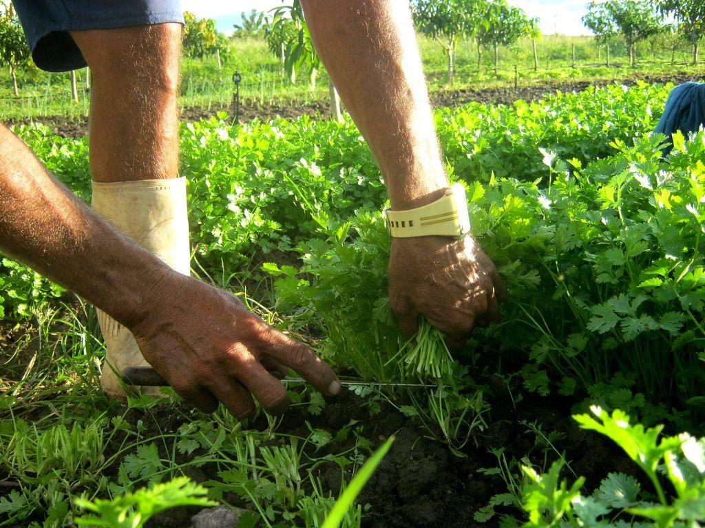 Como plantar coentro: conhecendo seus beneficios e plantando sementes