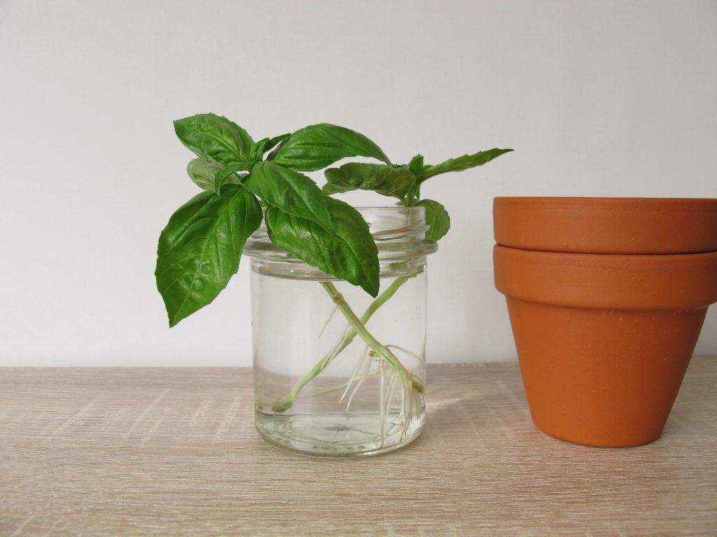 Como plantar manjericão: um dos temperos mais populares da culinária