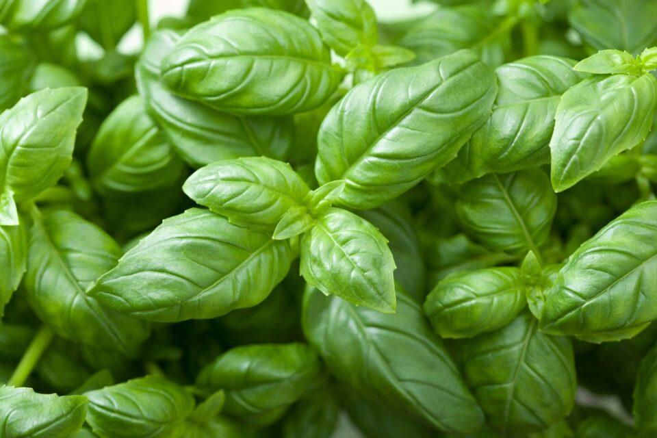 Como plantar manjericão – Maneiras de cultivar e manter a planta saudável
