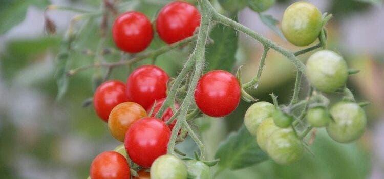 Como plantar tomate cereja: cultivando frutos orgânicos em casa
