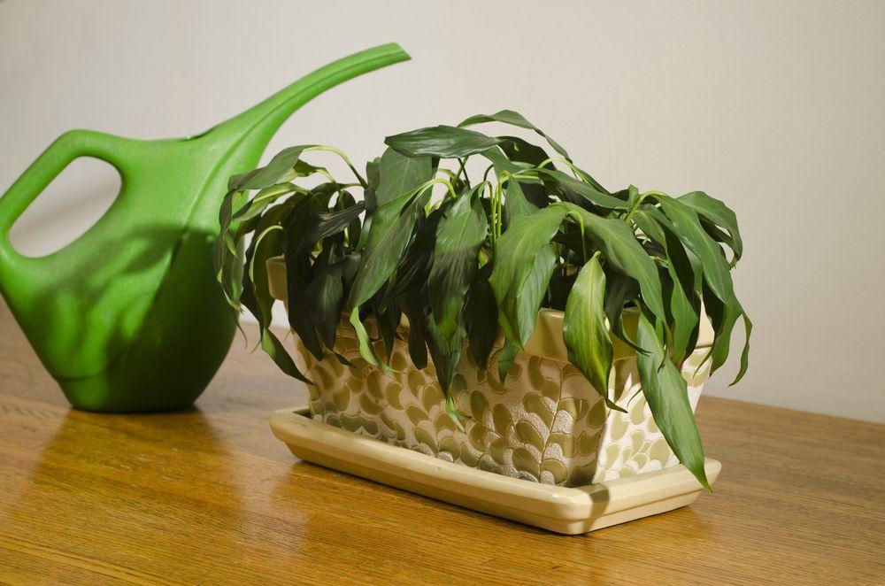 Como recuperar plantas secas: passo a passo para salvar uma planta