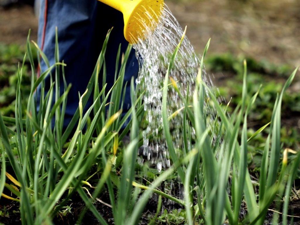 Como plantar cebola: benefícios da cebola e como cultivá-la em casa