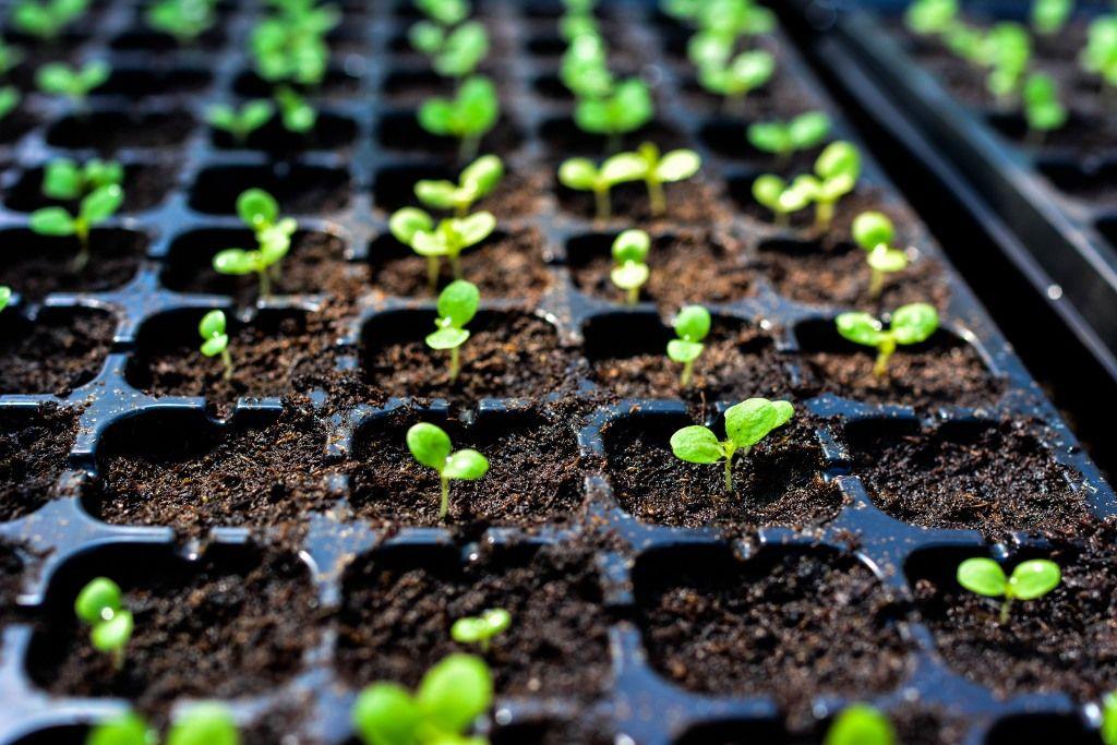 Como plantar salsinha: tempero fácil de cultivar na horta de casa