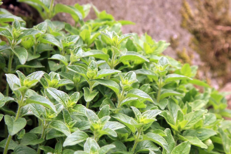 Como plantar temperos: primeiros passos e principais cuidados no plantio