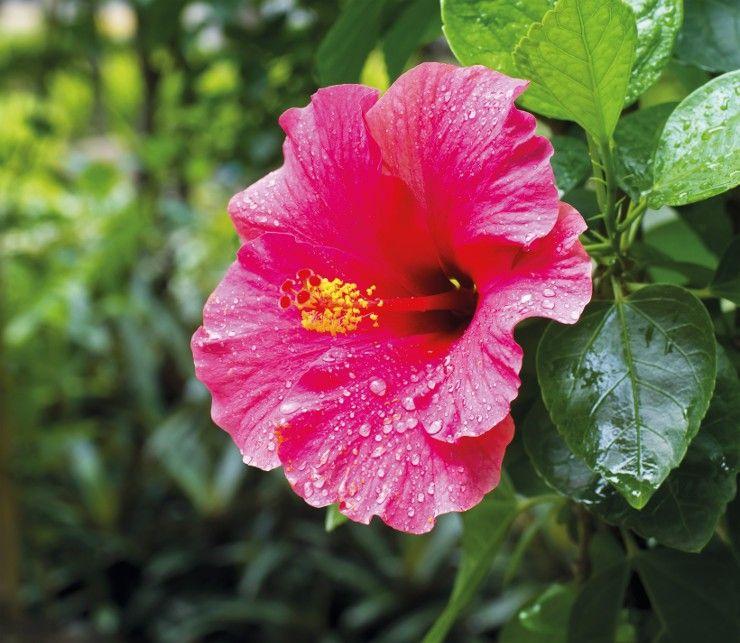 Flor de hibisco: benefícios do chá na alimentação e como cultivar em casa
