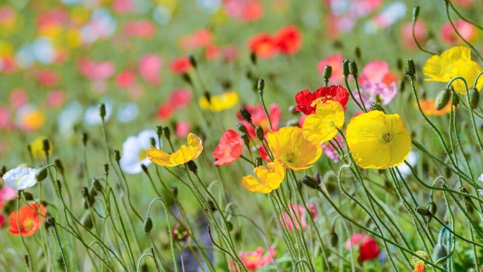Flores do campo – Principais tipos, características e como cultivar