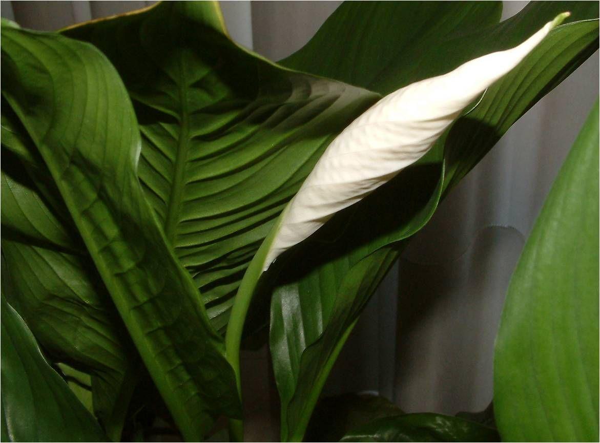 Lírio da paz: como plantar e como manter as flores saudáveis e bonitas