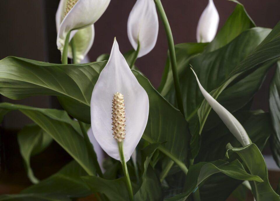 Lírio da paz – Como plantar e manter as flores saudáveis e bonitas