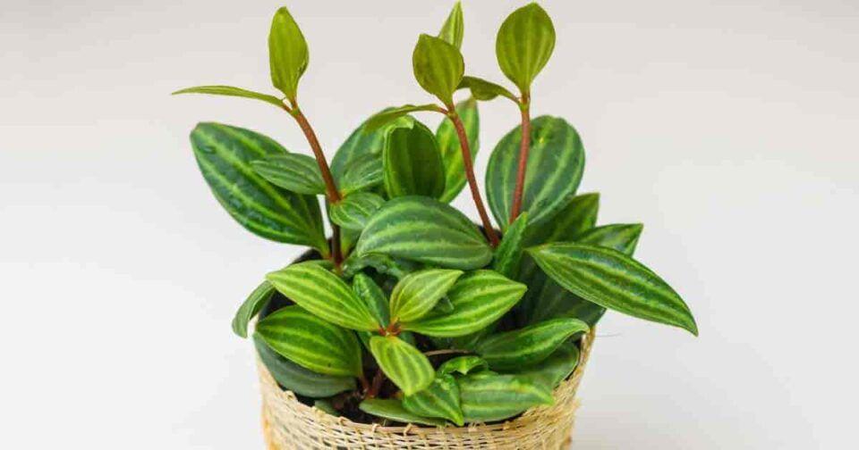 Peperômia – Principais tipos e cuidados gerais com essa planta