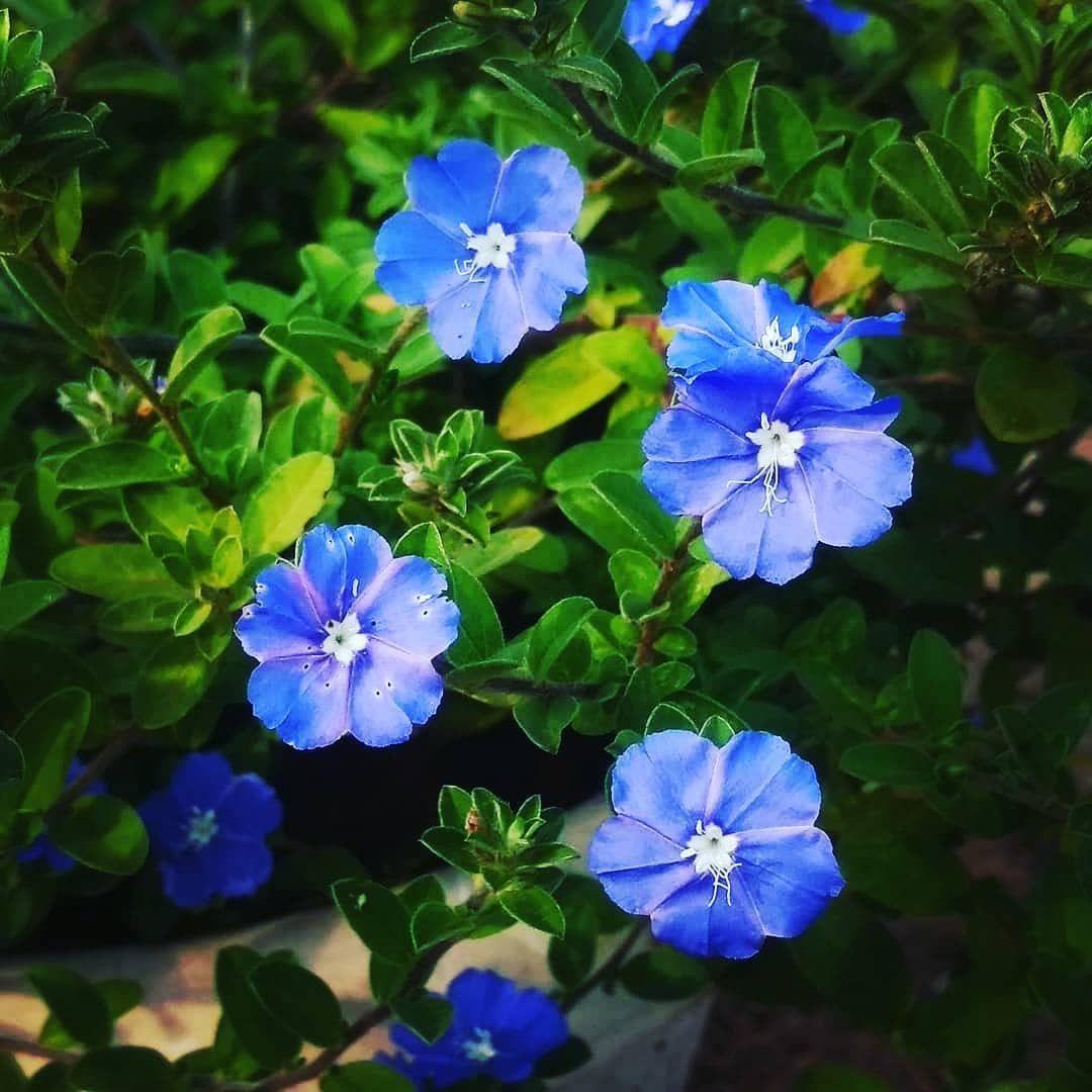 Azulzinha: uma flor azul delicada e resistente para os jardins