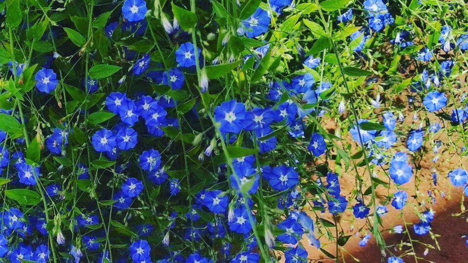 Azulzinha – Cuidados ao cultivar e como fazer muda da flor azul
