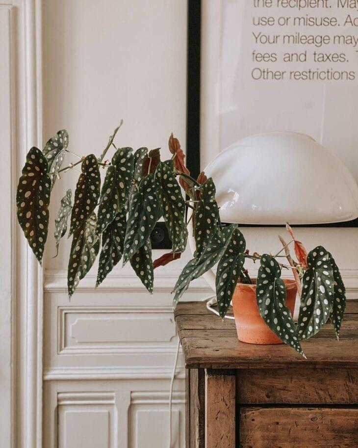 Begônia maculata: como cultivar e usar essa planta na decoração