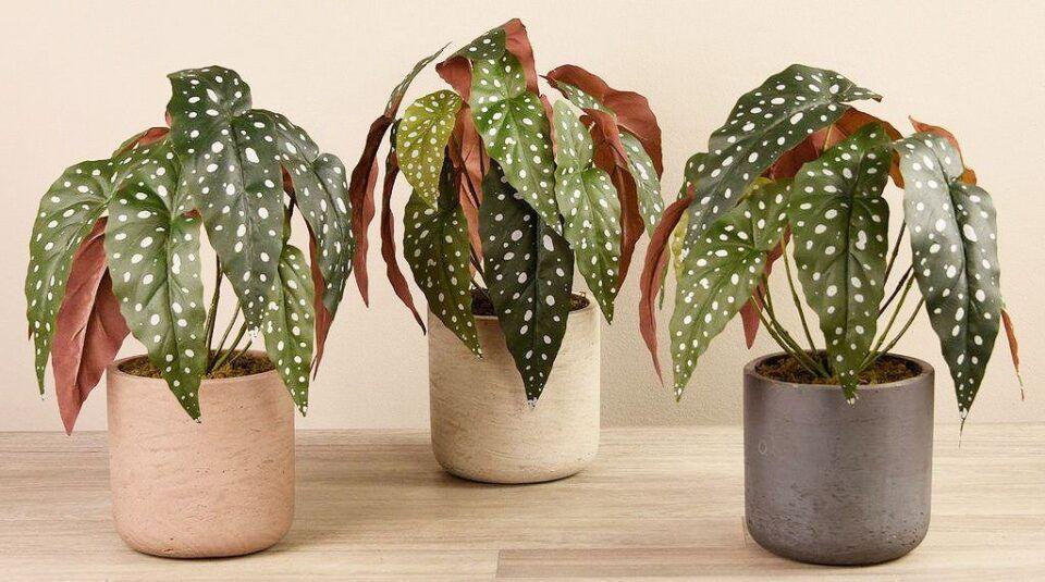 Begônia maculata – Como cultivar e usar essa planta na decoração