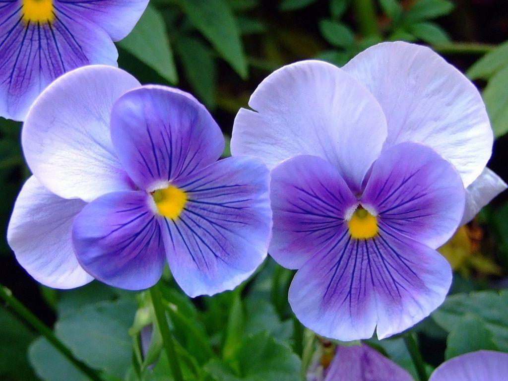 Como cultivar violetas: os principais cuidados para manter a flor saudável