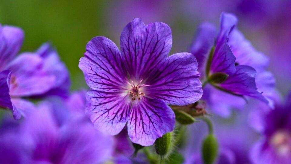 Como cultivar violetas – Principais cuidados para manter a flor saudável