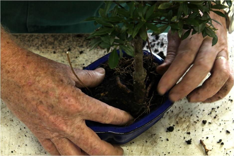 Como fazer bonsai: como surgiu a técnica e como fazer o próprio bonsai