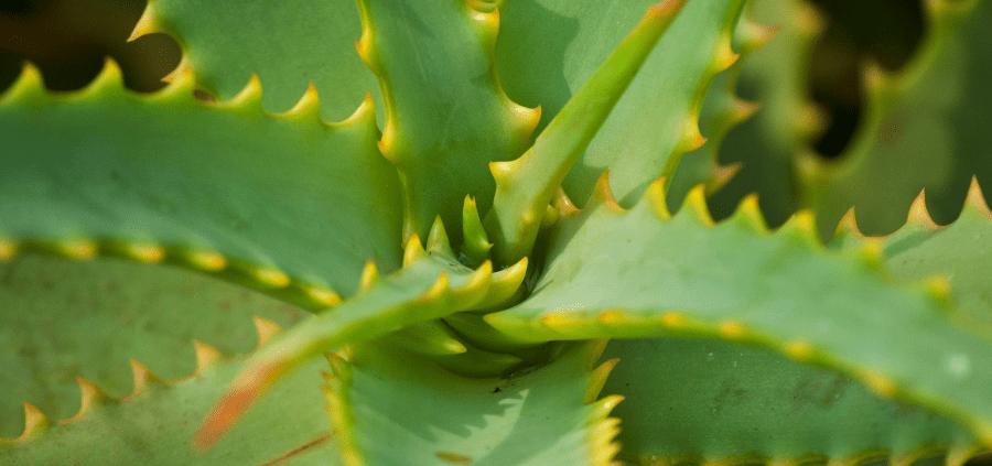 Como plantar babosa: formas de fazer o plantio e principais cuidados