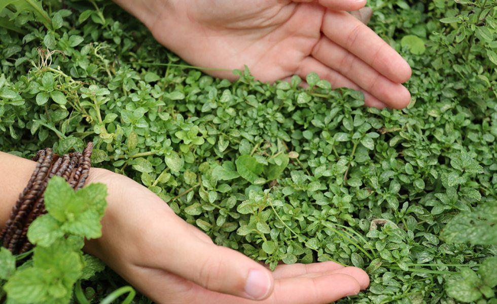 Ervas aromáticas: quais são as mais populares e como usá-las