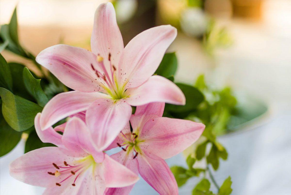 Lírio: como cuidar dessas flores e alguns tipos comuns