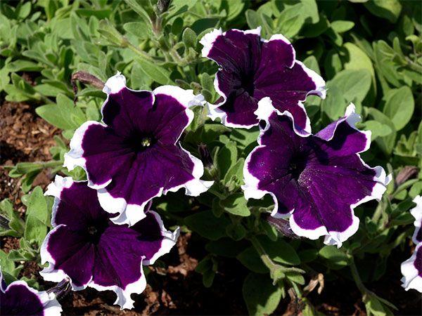 Petúnia: uma das flores mais delicadas e populares doBrasil