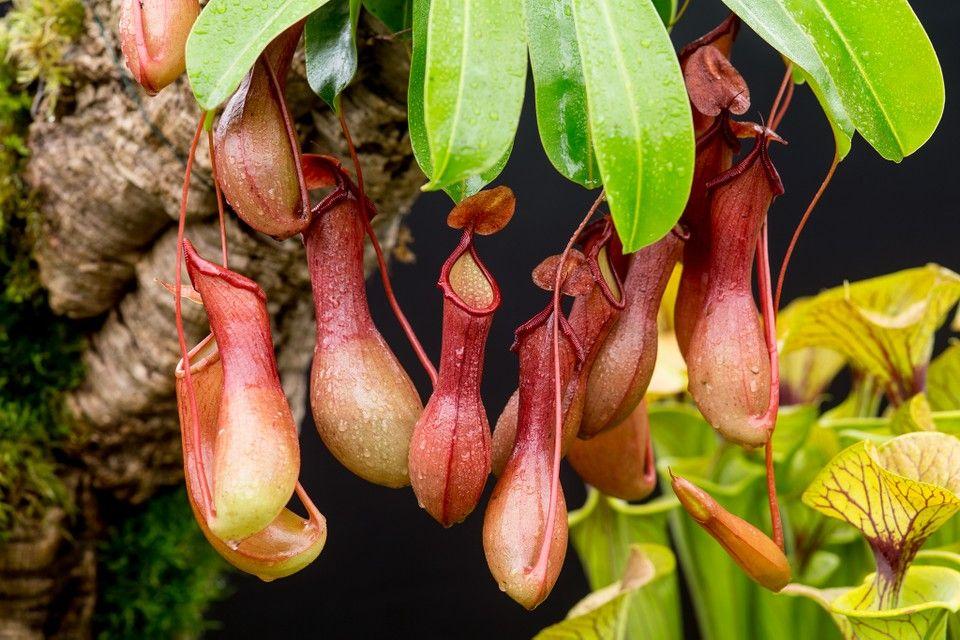 Plantas carnívoras: conhecendo um pouco mais dessa planta exótica
