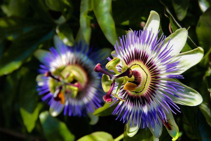 Plantas que acalmam: opções para diminuir os sintomas de estresse