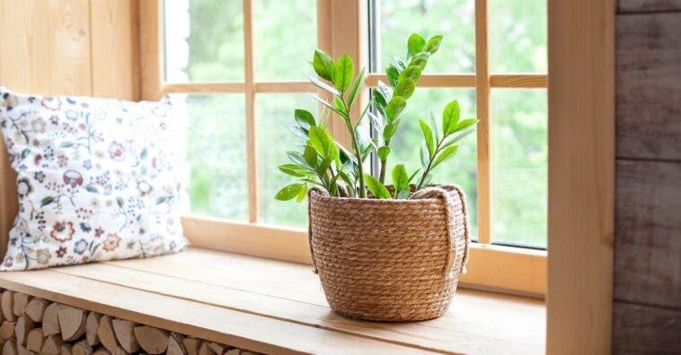 Zamioculca: como cultivar essa planta em casa e seus cuidados