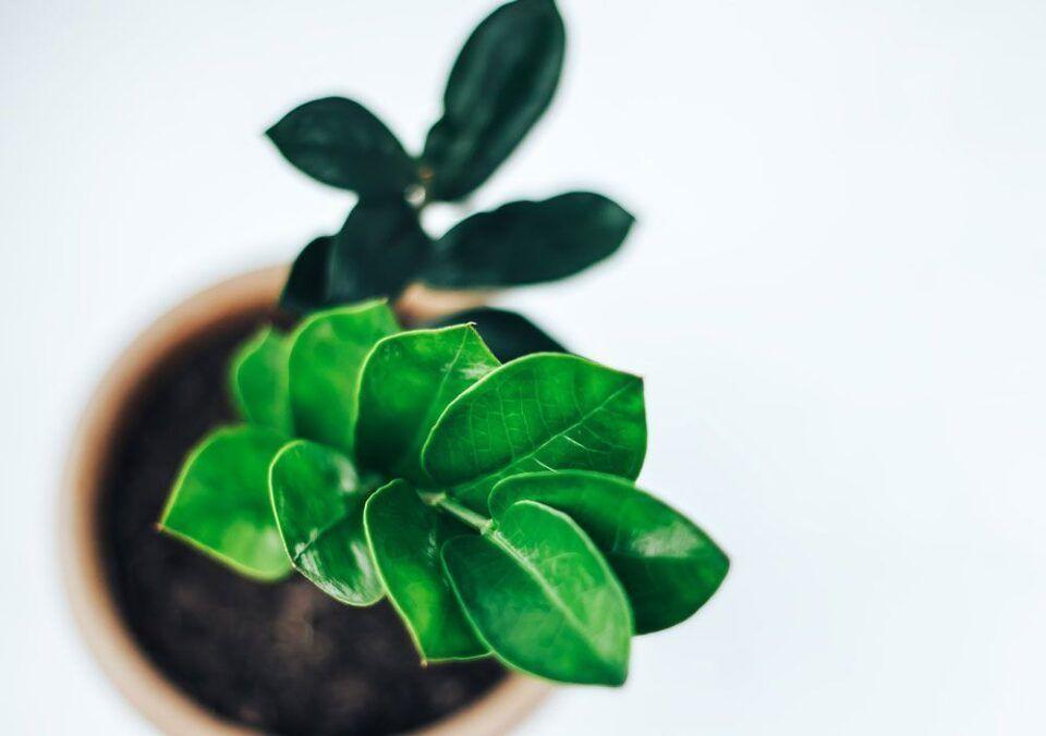 Zamioculca – Como cultivar essa planta em casa e principais cuidados
