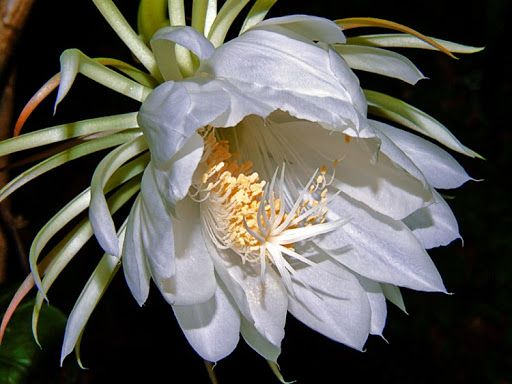 Dama da noite: flor popular pelo seu aroma adocicado