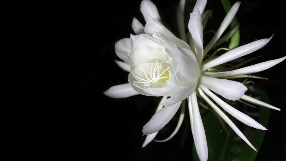 Dama da noite – Características da planta e como cultivar em casa