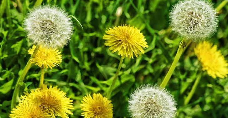 Dente de leão: uma flor singela que também é comestível