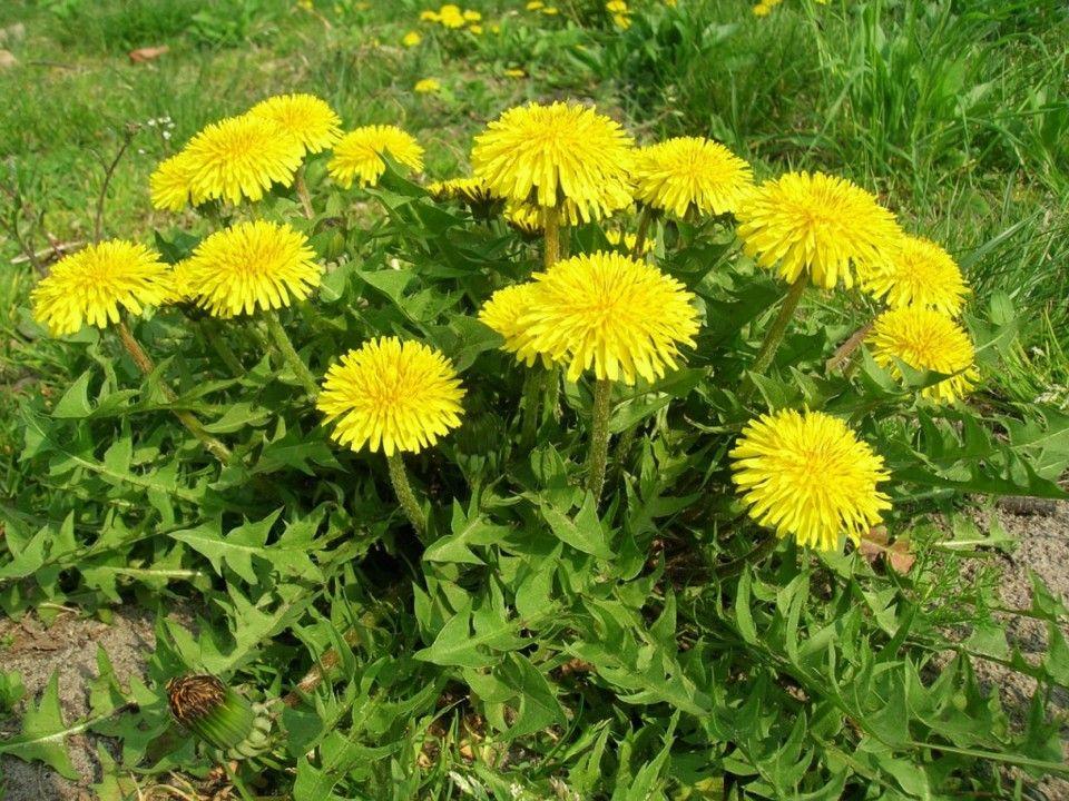 Dente-de-leão - Característica da planta e principais cuidados ao plantar