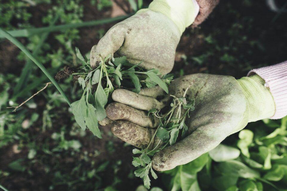 Ervas daninhas – Espécies mais populares e como fazer o controle
